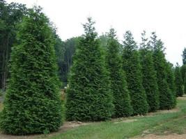 Green Giant Arborvitae 50 trees Thuja plicata 3 inch pot image 1