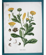 MARIGOLD Medicinal Calendula Officinalis - Beautiful COLOR Botanical Print - $26.01
