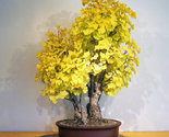 C 5 ginkgo biloba gingko maidenhair tree seeds nuts bonsai tree grown from seed 01 thumb155 crop