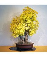 Organic 5 Ginkgo biloba gingko Maidenhair Tree seeds nuts Bonsai Tree gr... - $5.45