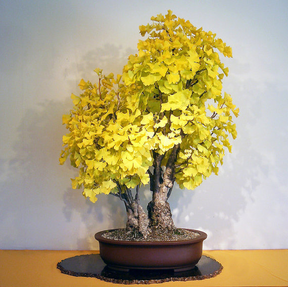 Organic 5 Ginkgo biloba gingko Maidenhair Tree seeds nuts Bonsai Tree grown from