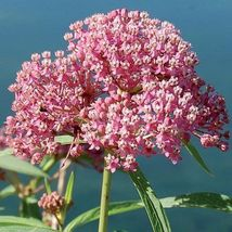 75 PCS Seeds of Red & Pink Milkweed Flowers Garden Perennial Flowers - $9.75