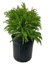 Trade Gallon Pot - Globosa Nana Dwarf Cryptomeria (japanese cedar) - FREE SHIP - $76.00