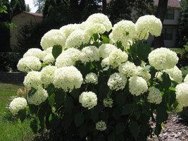 """Old Fashion Snowball Viburnum 4""""pot (Viburnum opulus roseum) image 2"""