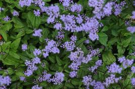 2 Mistflower Eupatorium coelestinum Hardy Ageratum / Wild Ageratum - $34.99