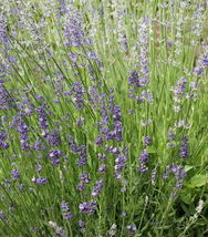 300 seeds English Lavender Seeds Lavandula angustifolia Herb  - $9.90