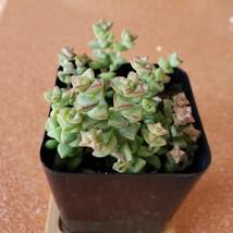 """Crassula Tom Thumb Succulent 2"""", live plants, 2 inch succulents, tiny plant"""
