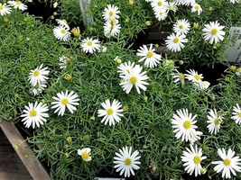 Ship From Us 200 Seeds White Swan River Daisy Brachyscome Flower Seed SBR4 - $11.99