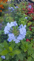 Plumbago Imperial Blue Live Plants 5 to 7 Inches Tall - Garden & Outdoor Living - $33.99