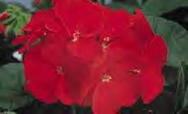 10 Seeds of Geranium Zonal Ringo 2000 Series Deep Scarlet - $21.78