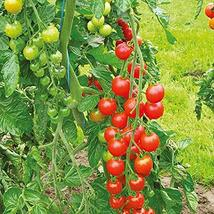 Sweetie Tomato Seeds - 25 Count Seed Pack - Non-GMO - A Prolific Variety That Pr - $1.59