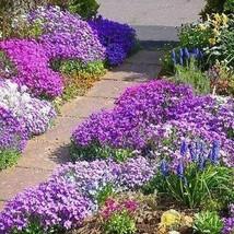 Rockcress Cascading Mix Flower Seeds (Aubrieta Hybrida) 50+Seeds - $5.92+