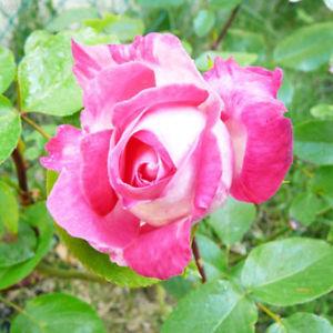 82BA 20Pcs/3g Nostalgia Rose Seeds Fragrant Easy Grow Home Garden Plant Seed