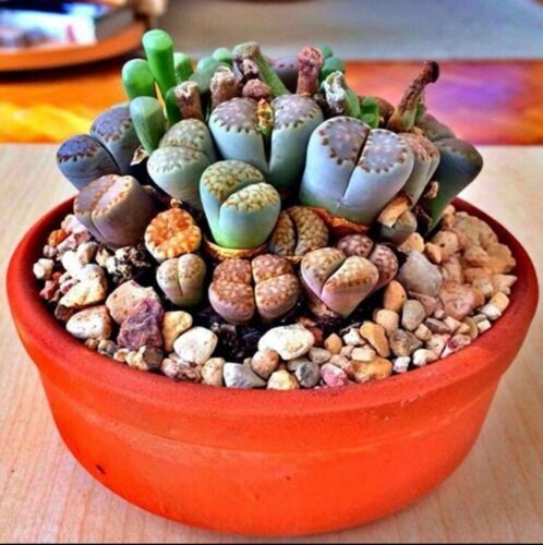 Primary image for Rare Lithops Mix succulent cactus Exotic living stones desert rock seed 50 Seeds