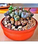 Rare Lithops Mix succulent cactus Exotic living stones desert rock seed ... - £15.92 GBP
