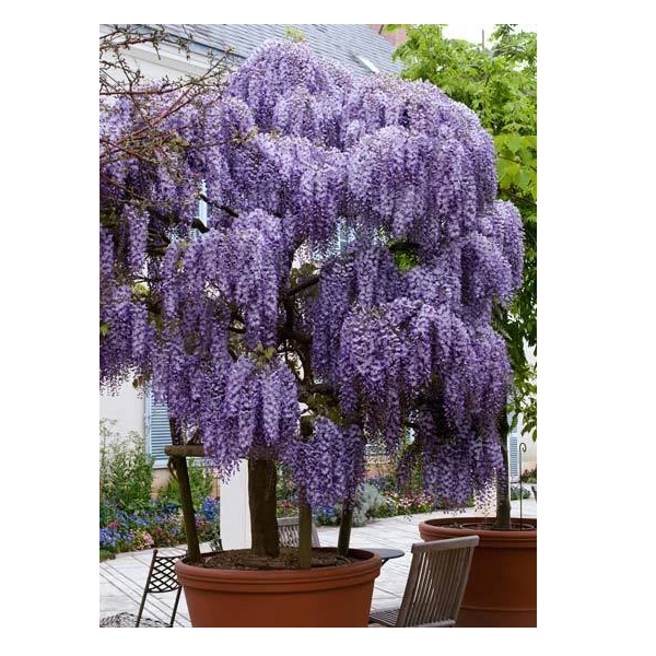 100 Seeds / Pack Chinese Wisteria Purple Flowers Garden Plant Seed - $19.99