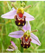 50Seeds Rare Flower Bee Orchid Flower Seed Smile Face Interesting Flowers - $3.99