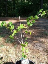 Bronze Summit Muscadine Grape 1Gal Vine Plants Vines Plant Grapes Vineya... - $33.90