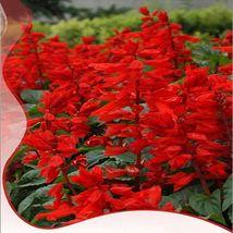 High Scarlet Sage Bonsai Tropical Salvia Splenden 40 seed ornamental flower seed - $13.05