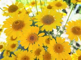 SHIP FROM US 250 GOLDEN MARGUERITE DAISY Yellow Chamomile Flower Seeds SBR4 - $12.00