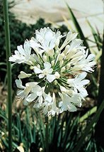 White Lily of The Nile - Live 6 Inch Plant - Agapanthus Africanus Getty White -  - $32.64