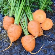 5 Grams Seeds of Rondo Carrots - $29.01