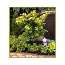 8 Gold Hinoki Cypress Tree Seeds-1236 - $2.98