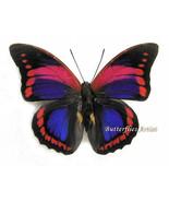 VARY RARE Prepona Praeneste Confusa Real Butterfly Entomology Collectibl... - €122,01 EUR