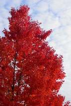 Red Maple Tree quart pot image 4