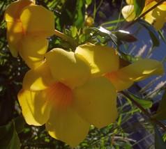 Brown Bud Allamanda Hendersonii Vine Plant Sunny Yellow Big Bell FlowerTkEmerald - $58.00