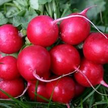 1000 Seeds Radish Seed Cherry Belle Red Radishes - $19.00