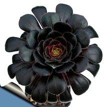 """Black Rose Tree - Aeonium arboreum - RARE - Easy to grow! - 3"""" Pot - $14.70"""