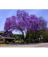 10 Royal Empress Tree seeds Stunning Purple Flowers in Spring Fast Growing - $2.99