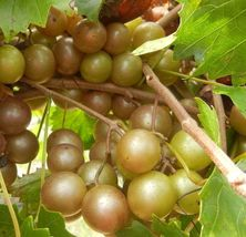Plant - Vitis 'Higgins' Muscadine Grape (It's not seeds) - $25.95