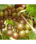 Plant - Vitis 'Higgins' Muscadine Grape (It's not seeds) - $25.95