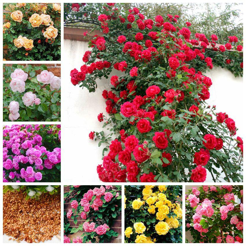 Bag Climbing Roses Seeds Chinese Flower Seeds Perennial Garden Bonsai Roses  Flower Plant For 68