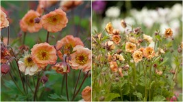 1 Starter Plant Geum 'Mai Tai - Flowers Beautiful Home Gardening D05 - $31.99