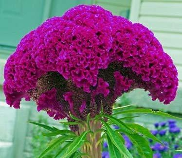30 Seeds of Purple Frilly Head Brain Celosia - Amaranthaceae Amaranth