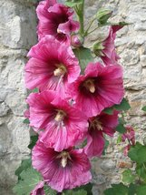 10 Pink Hollyhock Flower Seeds - $3.49
