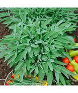 25 Seeds - Broadleaf Sage Seeds - Great Herb - $7.99