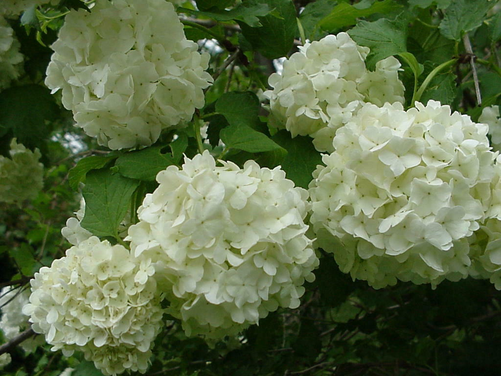 "Old Fashion Snowball Viburnum 4""pot Viburnum opulus roseum"