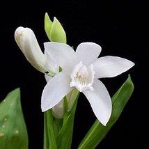 4 Starter Plants of Bletilla Striata Alba - $138.60