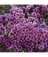 100Pcs Saxifraga Purple Robe Flower Seeds Saxifraga Arendsii Seed - $19.27