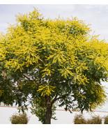 "2""-4"" inches Golden Rain Tree  Koelreuteria Paniculata Graden Starter Li... - $60.00"