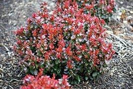 3 Year PLANT of Berberis Thunbergii Bagatelle - $138.60