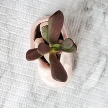 Succulent in Pink Baby Shoe Planter, Ogre Ear Jade in Vintage Ceramic Boot image 9