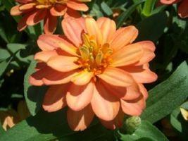 50 Seeds - Zinnia Yoga Salmon Flower - $9.45