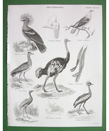 BIRDS Ornithology Pigeon Cassovary Ostrich Trumpeteer - 1842 Engraving P... - $13.05