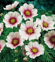 50 Pcs White Cosmos Seeds, Daydream, Heirloom Cosmos, Non-Gmo Draws Butt... - $13.99