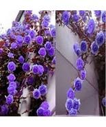 100 Seeds Rare Purple Climbing Rose,DIY Rose Seeds - $5.99